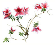 Rosa da azálea, esboço de florescência da aquarela dos ramos Izolated/ Fotografia de Stock