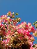 Rosa da buganvília Fotografia de Stock Royalty Free