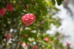 Rosa da camélia Fotografia de Stock