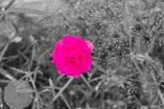Rosa da cor de ponto nas imagens preto e branco, claras - flor grandiflora do portulaca do rosa imagem de stock royalty free