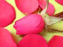 Rosa da cor-de-rosa e pétalas cor-de-rosa Fotos de Stock