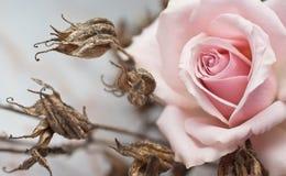 Rosa da cor-de-rosa e planta withered fotografia de stock