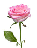 Rosa da cor-de-rosa isolada no branco fotografia de stock royalty free