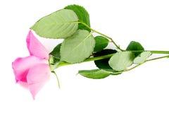 Rosa da cor-de-rosa isolada no branco Fotos de Stock