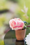 Rosa da cor pastel no potenciômetro Fotografia de Stock