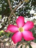 Rosa da flor Fotos de Stock Royalty Free