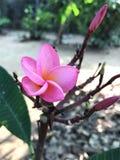 Rosa da flor Fotografia de Stock