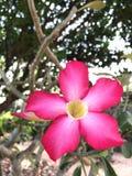 Rosa da flor Imagem de Stock Royalty Free