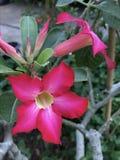 Rosa da flor Imagens de Stock Royalty Free