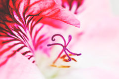 Rosa da flor Imagens de Stock