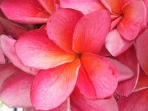 Rosa da flor Fotografia de Stock Royalty Free