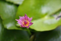 Rosa da flor Imagem de Stock