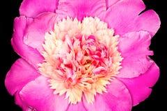 rosa da flor da peônia Foto de Stock Royalty Free