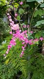 Rosa da flor de Blunch Fotografia de Stock Royalty Free
