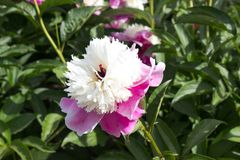 rosa da flor da peônia Imagens de Stock Royalty Free