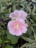Rosa da flora imagem de stock royalty free