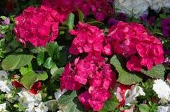 Rosa da hortênsia Fotos de Stock Royalty Free