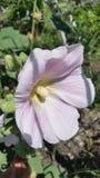 Rosa da manhã Imagem de Stock Royalty Free