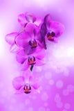 Rosa da orquídea, Imagens de Stock