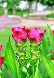 Rosa da tulipa de Sião imagem de stock royalty free