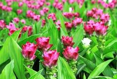 Rosa da tulipa de Sião fotos de stock royalty free