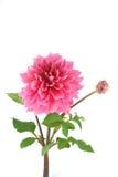 Rosa dahlia Royaltyfri Bild