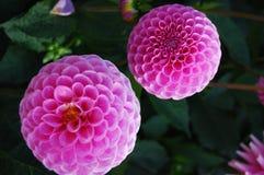 Rosa dahlia av San Fran Arkivfoton