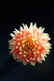 Rosa dahlia, blomning Arkivfoto