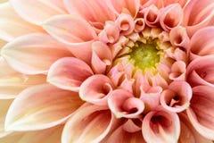 Rosa dahlia för närbild i blom Arkivfoton