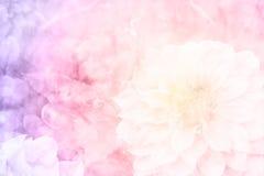 Rosa dahlia i trädgård Arkivbild