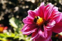 Rosa dahlia med humlan i sommar Arkivfoton
