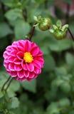 Rosa dahlia med knoppar. Sommarkort. Arkivbild