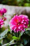 Rosa dahliablomma arkivfoton
