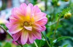 Rosa dahliablomma fotografering för bildbyråer