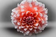 Rosa dahliablomma Royaltyfri Fotografi