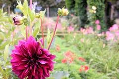 Rosa dahliablomma i trädgården Royaltyfri Foto