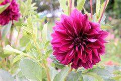 Rosa dahliablomma i trädgården Fotografering för Bildbyråer