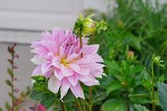 Rosa dahliablomma och knopp fotografering för bildbyråer