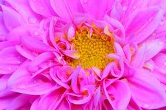 Rosa dahliablommaslut upp Fotografering för Bildbyråer
