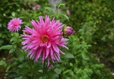 rosa dahliadahlia Royaltyfri Bild