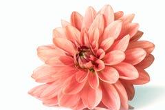 Rosa Dahlienblume in der Blüte Stockbilder