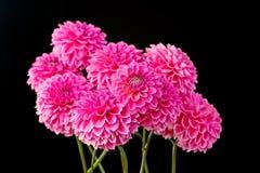 Rosa Dahlienblumenblätter Lizenzfreie Stockfotografie
