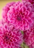 Rosa Dahlienblumenblätter Lizenzfreies Stockfoto
