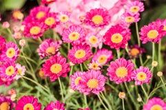 Rosa Daisy Flowers With Soft Focus bakgrund Royaltyfri Fotografi
