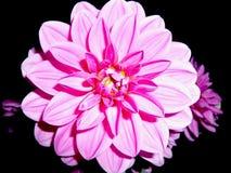 Rosa dalia på svart bakgrund Härlig blomma med lotten av kronblad Nice färgade frontal slut för dahlia upp Rosa vit intensiv färg Fotografering för Bildbyråer