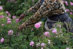 Free Rosa Damascena Stock Photography - 167683342