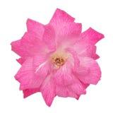 Rosa damascena fotografering för bildbyråer