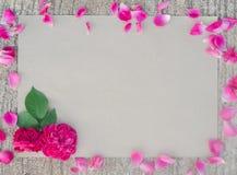Rosa damascena arkivfoton