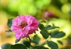 Rosa damascena arkivbilder