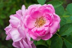 Rosa damascena flower stock images